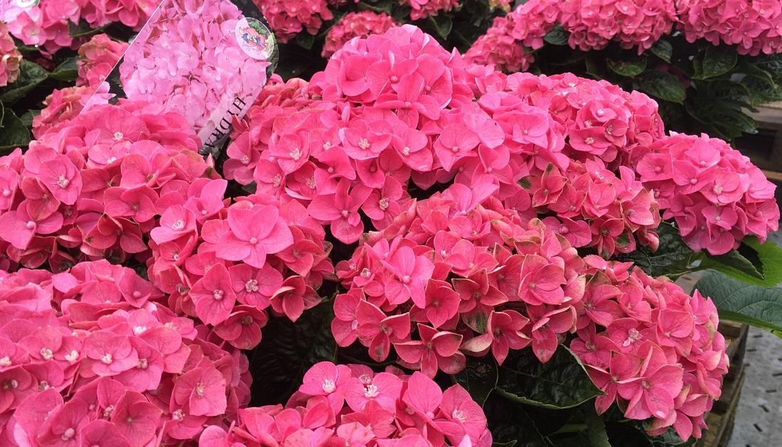 gartenradio der garten im august die opulente bl tenpracht der hortensie. Black Bedroom Furniture Sets. Home Design Ideas